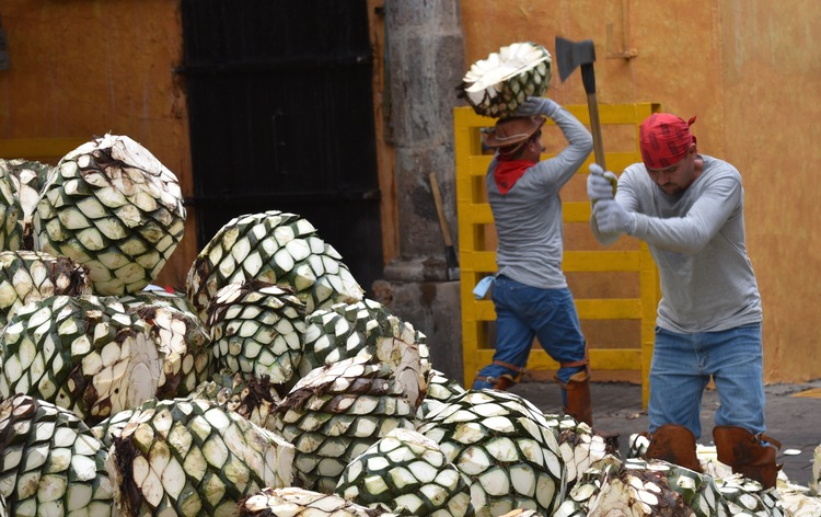 Agave delivery in Tequila city